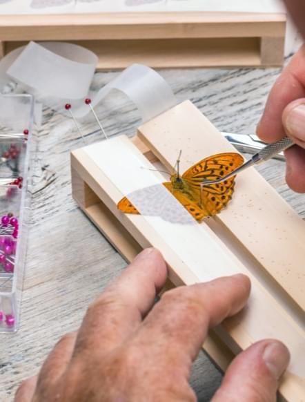 butterfly science model